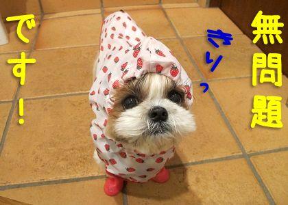 犬用レインコートと犬用レインブーツで完全防備のシーズー犬まろん