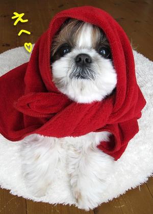 赤ずきんちゃんに扮装したシーズー犬まろん