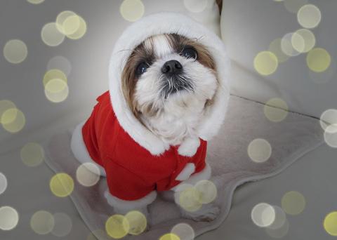 クリスマスイルミネーションとシーズーサンタまろん