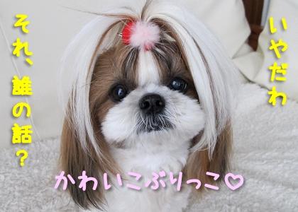 かわいこぶりっこのシーズー犬まろん