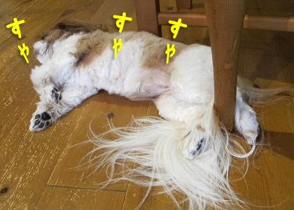 エアコンの風のもと寝るシーズー犬まろん