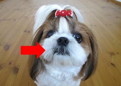 口元の毛を食べちゃってるシーズー犬まろん2