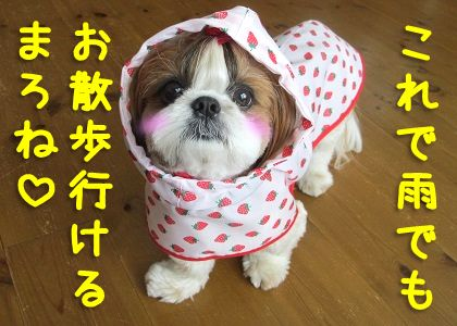 犬用レインコートを着るシーズー犬まろん