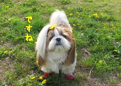 黄色いたんぽぽに間に合ったシーズー犬まろん