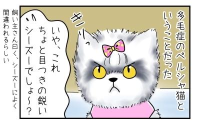 多毛症のペルシャ猫ということだった。いや、これちょっと目つきの鋭いシーズーでしょ~?飼い主さん曰く、シーズーによく間違われるらしい