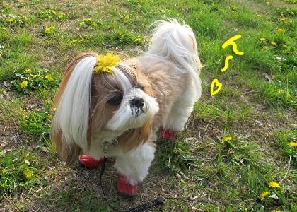 たんぽぽ畑で気持ち良さそうなシーズー犬まろん