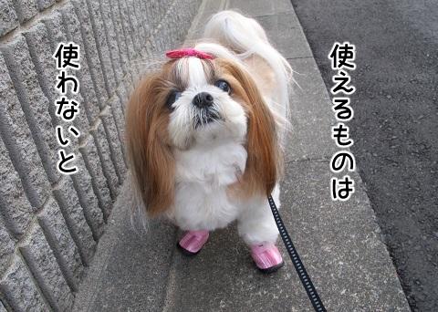横着物のシーズー犬まろん