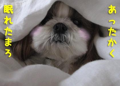 パパに掛け布団をかけてもらったシーズー犬まろん