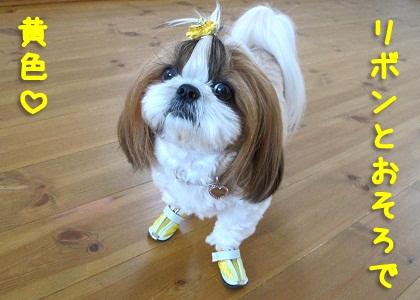 黄色い犬靴を履いたシーズー犬まろん