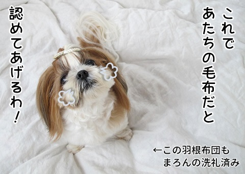 夫の毛布にマーキングしたシーズー犬まろん