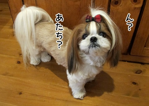 抜け毛の季節のシーズー犬まろん