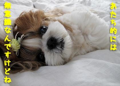 飼い主にお尻をくっつけて寝るシーズー犬まろん