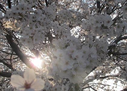 満開の桜の夕暮れ