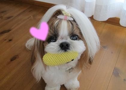 かわいいシーズー犬まろん