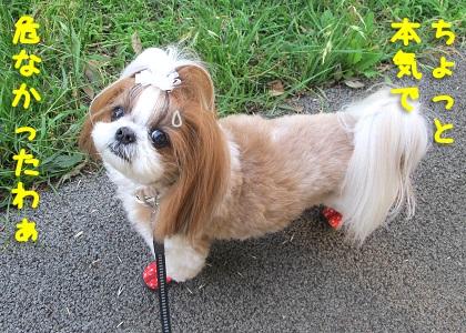 公園で遭難しかけたシーズー犬まろん