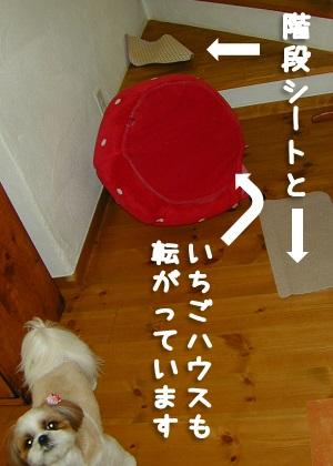 滑り止め階段マットをはがすシーズー犬まろん