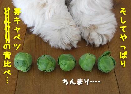 芽キャベツの背比べ