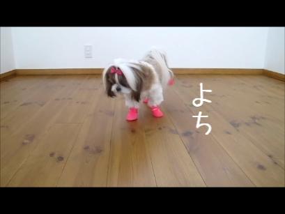 0631_犬用レインブーツでよちよち歩きのシーズー犬まろん