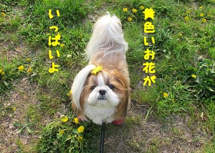 たんぽぽ畑の中のシーズー犬まろん