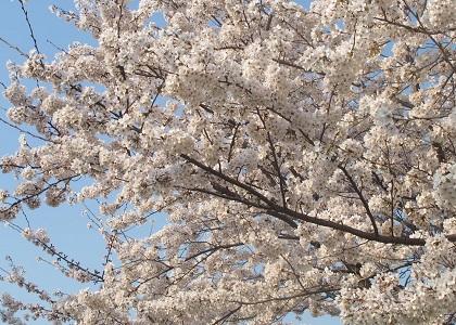 枝先に咲く桜