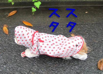 犬用レインコートを着て歩くシーズー犬まろん