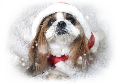 サンタの服を着たシーズー犬まろん2
