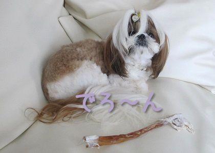 馬アキレスに満足したシーズー犬まろん