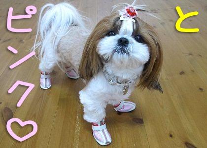 ピンクの犬靴を履いたシーズー犬まろん