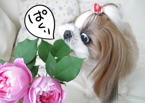 バラの葉を食べたシーズー犬まろん